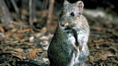 Ten extinct animals that have been rediscovered.  This is the Gilbert's Potoroo, it was thought to be extinct by 1909.  It was rediscovered in 1994.
