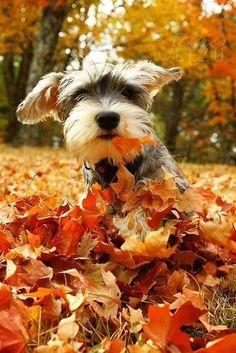 Cute schnauzer in pile of leaves