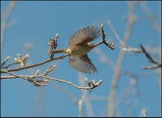luì verde -phylloscopus sibilatrix