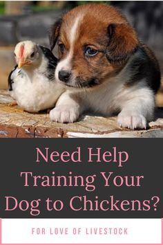 Check out this step-by-step training guide on how to train your dogs not to harm your chickens. #dogs #chickens #dogtraining Dog Training School, Dog Training Books, Dog Training Methods, Training Your Dog, Dog Minding, Tibetan Mastiff, Anatolian Shepherd, Easiest Dogs To Train, Great Pyrenees