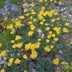 Gelbe Schafgarbe • Achillea tomentosa • Pflanzen & Blumen • 99Roots.com