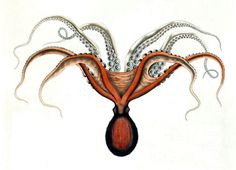 New item in my etsy shopOctopus Megalocyathus (now enteroctopus megalocyathus) patagonian red octopus vintage coloured engraving reproduction by PanchromaticaDesigns. Find it here http://ift.tt/1Vg0VsV