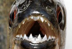 piranha | close up on a piranha's face.
