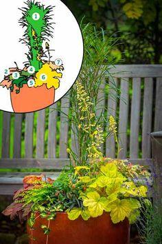 Fine Line buckthorn (Rhamnus frangula 'Ron Williams') 'Sweet Tea' foamy… Container Plants, Container Gardening, Black Mondo Grass, Coral Bells Heuchera, Bell Gardens, Asian Garden, Foliage Plants, Shade Garden, Seasonal Decor