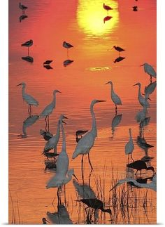 Photographic Print: Great Egrets, Dowitchers, and American Avocets in Water at Sunset. Egretta Alba by George Grall :