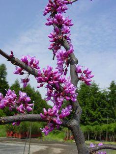 CERCIS CANADENSIStrès bel arbre indigène en fleurs au printemps avant l'apparition des feuilles. Feuillage jaune à l'automne.  5-6 m haut et de large. Les branches sont basses près du sol. Arbre dans la cour chez Diane.