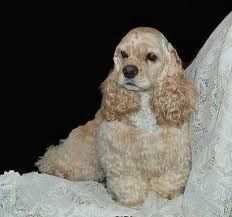 """American Cocker Spaniel puppy...when I was 5...I named her """"Honey."""""""