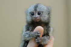 are finger monkeys dossile | les plus petits singes de monde
