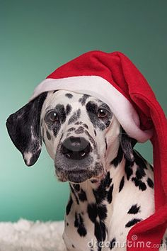A cute Dalmatian bitch dog hound with santa's hat Christmas Animals, Christmas Cats, Christmas Holidays, Silly Dogs, Cute Dogs, Baby Animals, Cute Animals, Funny Animals, Dalmatian Dogs