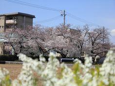 神崎浄水場の桜