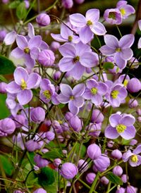 Wiesenraute: meadow-rue. can be kept outside in the winter, still looks so cute! love to have one...