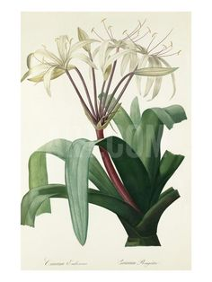 Crinum erubescens Giclee Print by Pierre-Joseph Redouté at Art.com