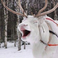 Rare but conspicuous: Your photos of white reindeer — BBC News US – albino animal Smiling Animals, Happy Animals, Cute Funny Animals, Animals And Pets, Beautiful Creatures, Animals Beautiful, White Reindeer, Albino, Pet Birds