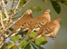 Long tailed ground doves trio