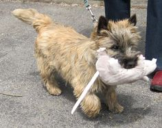 CAIRN TERRIER - Google Search. The toy is from Ikea, its called a Gosig Ratta. My Cairn has one too. PS They also have Gosig Mus which are smaller toys then the Rats.