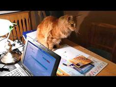 Maine Coon - kot biurkowy