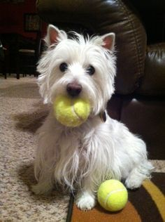 if you ever have one, you will never have any other dog. Westies rule the world.
