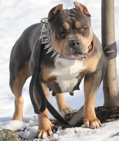 Tri American Bully - i will have one of these someday!! i love these