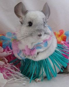 This adorable photo shoot of a Hamster in a hula skirt will bring you instant joy. Cute Baby Animals, Animals And Pets, Funny Animals, Chinchillas, Hamsters, Hamster Clothes, Chinchilla Cute, Totoro, Pet Costumes