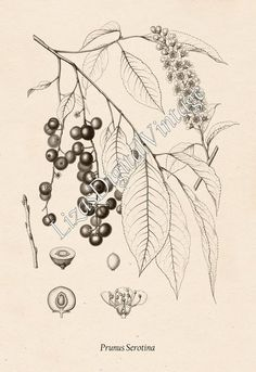 Come learn all about wild cherry bark straight from our membership site, The Herbarium, and get a free printable monograph for your records as well! Tree Images, Tree Illustration, Illustrations, Tree Wall Art, Tree Print, Wall Art Sets, Fruit Trees, Botanical Prints, Vintage Art