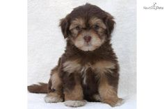 Chocolate and tan havanese.  This will be my next havanese.