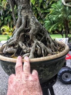 an irreverant blog by a questing bonsai artist #bonsaimacetas
