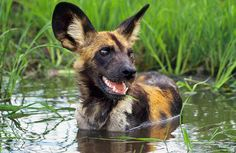 Follow the Piper: WILD AFRICAN DOGS
