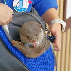 Little otter Haku chews on her carrier - January 3, 2014