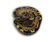 Co-Dominant Ball Python Morphs - A 2 Z Reptiles - Look at some snakes! Ball Python Morphs, Black Magic, Black Laces, Back To Black, Reptiles, Snakes, A Snake, Snake