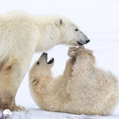 """1,968 Likes, 15 Comments - Polar Bears International (@polarbearsinternational) on Instagram: """"Yoga Bear Wednesday is back! Sometimes the news can crush our motivation and spirits–––make time to…"""""""