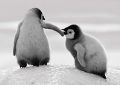 Two baby penguins helping each other climb an icy slope in Snow Hill, Antarctica.