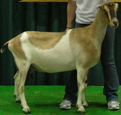 Breeds of Dairy Goats - LaMancha - Very high production of milk.   La Manchas give large quantities of sweet tasting milk. Most does average 1-2 gallons per day, and butterfat percentage is usually 4% to 4.5%.