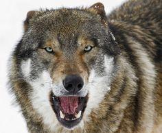 "beautiful-wildlife: ""European Wolf by photo-sommer """