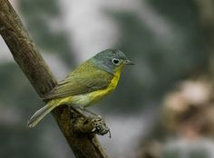 Nashville Warbler (Oreothlypis ruficapilla) (EXPLORE, May 14, 2016) - Tanners Spring, Central Park, New York