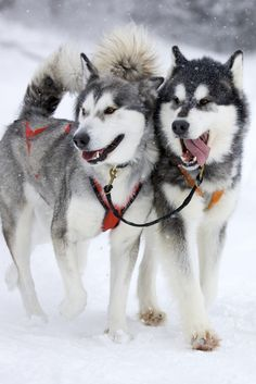 Siberian huskies. Good article at link about them, sled dogs in general and Balto.