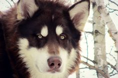 Alaskan Malamute <3 Odin