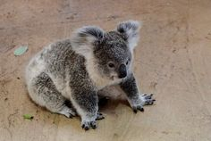 Baby Koala! #cute #animals #baby #koala
