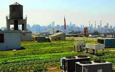 Brooklyn Grange Rooftop Farm, looks like they're collecting runoff from the rooftop heat exchange, great way to get drip irrigation!