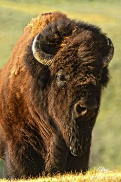 Bull American Bison, Yellowstone National Park, Wyoming... just like the one our two boys decided to stand 8 short feet away from!