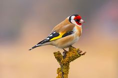 Goldfinch by Ferenc Hoffman on 500px