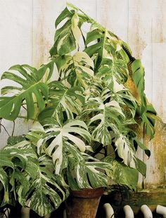 Variegated Mexican Breadfruit (Monstera deliciosa 'Variegata') a finger leaf variety with green and white marbling