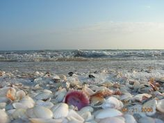 shells from sanibel island florida