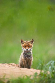 Little baby fox :) so cute Animals And Pets, Baby Animals, Cute Animals, Wild Animals, Beautiful Creatures, Animals Beautiful, Fox Pups, Cat Dog, Mundo Animal