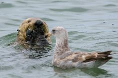 Sea Otter Gobbles Up Her Clam Before the Bird Can Steal It