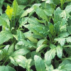 Sylvetta Arugua aka Wild Rocket  A wild variety, smaller and slower to bolt than most cultivated sorts, with tasty and more deeply serrated leaves.