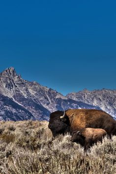 American Bison, Grand Teton NP, Wyoming - Eamon Gallagher