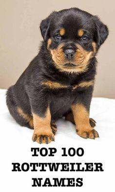 Rottweiler Dog Names, Rottweiler Facts, Rottweiler Training, Rottweiler Love, Pitbull Names, German Rottweiler Puppies, Rottweiler Pictures, Scottish Terrier, Boston Terrier