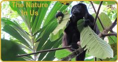 Young Mantled Howler Monkey - The Nature In Us Newsletter - 1/15/16