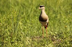 https://flic.kr/p/Pi9X9K   Crowned Lapwing Plover.   A capture captured on camera recently around Pretoria.