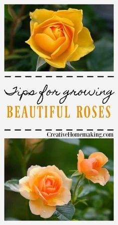 Rose Bush Care, Rose Care, Garden Care, Growing Flowers, Planting Flowers, Flower Gardening, Fairy Gardening, Permaculture, Comment Planter Des Roses
